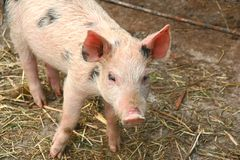 小的猪 图库摄影