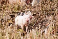小的猪 免版税库存图片