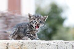 小的猫呜呜的叫声 库存图片