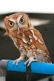 小的猫头鹰凝视与大眼睛 库存图片