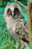 小的猫头鹰之子坐分支和 免版税库存照片