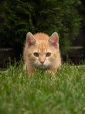 小的猫攻击 库存照片