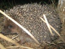 小的猬在他的第一狩猎出去了 图库摄影