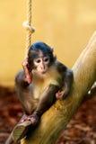 小的猴子 图库摄影