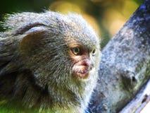 小的猴子 库存照片