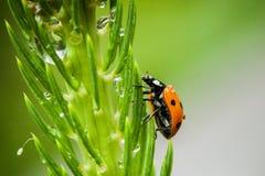 小的瓢虫特写镜头  免版税库存图片
