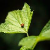 小的瓢虫03 免版税库存照片