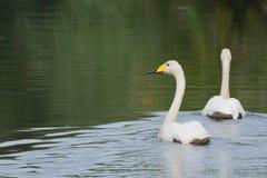 小的白色天鹅 免版税库存照片