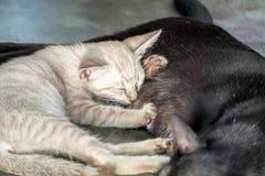 小的白色小猫逗人喜爱的拥抱妈妈猫 免版税库存照片