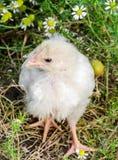 小的白色鸡poulet 库存照片