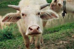 小的白色水牛 库存图片