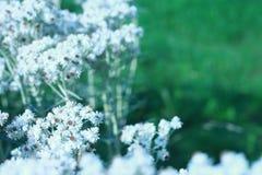 小的白花 库存照片