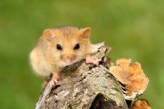 小的睡鼠 图库摄影