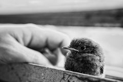 小的知更鸟 库存图片