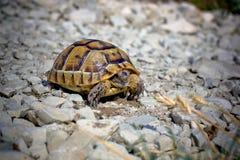 小的石头乌龟 库存照片