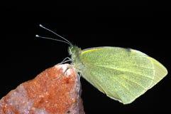 小的空白蝴蝶 免版税库存图片