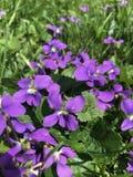 小的紫罗兰在春天草坪,杂草或者野花、朋友或者仇敌? 图库摄影