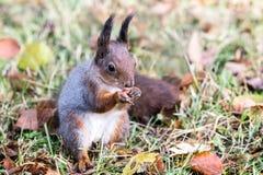 小的红松鼠坐与棕色的地面烘干秋天le 免版税图库摄影