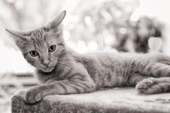 小的红色小猫 库存图片