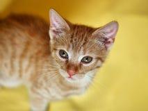 小的红色小猫 免版税图库摄影