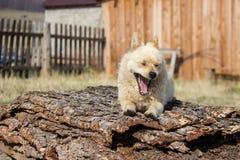 小的红色狗守卫疆土 免版税库存照片