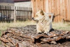 小的红色狗守卫疆土 免版税图库摄影