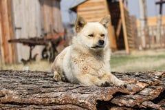 小的红色狗守卫疆土 库存照片