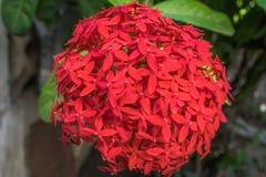 小的红色花在一个热带后院 免版税库存照片