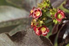 小的红色花特写镜头,在浦那附近 图库摄影