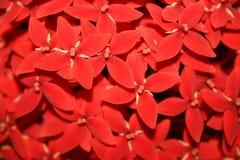 小的红色花 库存图片