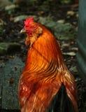 小的红色雄鸡 免版税库存图片
