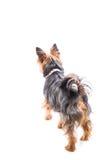小的约克夏狗的背面图 库存图片
