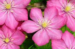 小的组美丽的花(铁线莲属) 免版税库存图片