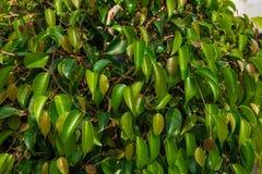 小的结构树 与小叶子的绿色灌木 用叶子盖的灌木 免版税库存图片