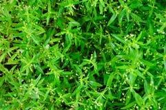 小的绿色叶子。 库存图片