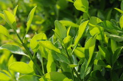 小的绿色叶子 免版税图库摄影