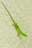 小的绿蜥蜴 库存图片