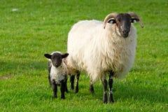 小的羊羔 免版税库存图片
