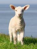 小的羊羔 免版税图库摄影