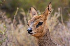 小的羚羊 免版税库存图片