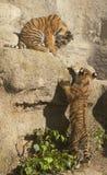 小的老虎 免版税库存照片