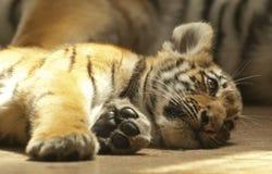 小的老虎 免版税库存图片