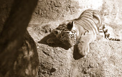 小的老虎 免版税图库摄影