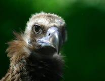 小的老鹰 免版税图库摄影