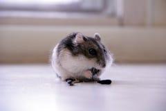 小的老鼠,仓鼠 免版税库存图片