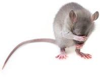小的老鼠 免版税库存照片