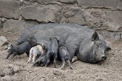 小的肮脏的猪 图库摄影