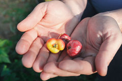 小的苹果在一臂之力上在一个坏环境里 免版税库存照片