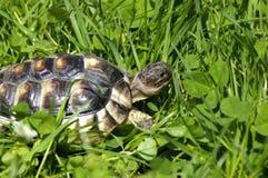 小的草龟 免版税库存照片
