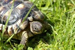 小的草龟 库存照片